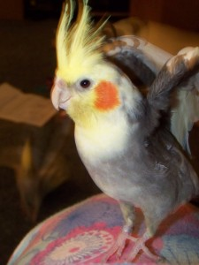 Obligatory Pet Photo - Don't let Your Feathers Get Ruffled